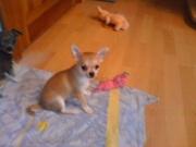 продаются щенки чихуахуа г. Жлобин.Без родословной