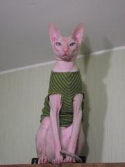 донской сфинкс кот приглашает девочку на вязку