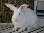 Продам кроликов для разведения