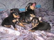Продам 2 щенка(мальчика)русский той-терьер.родились 08.01.2013 года.