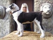 Огромные щенки Среднеазиатской овчарки