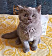 Чистокровные британские котята.