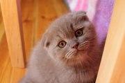 Продаются шотландские котята!